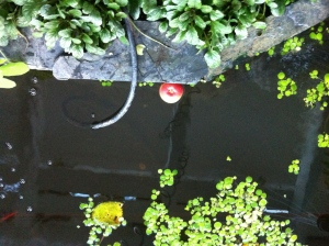Apple in the pond